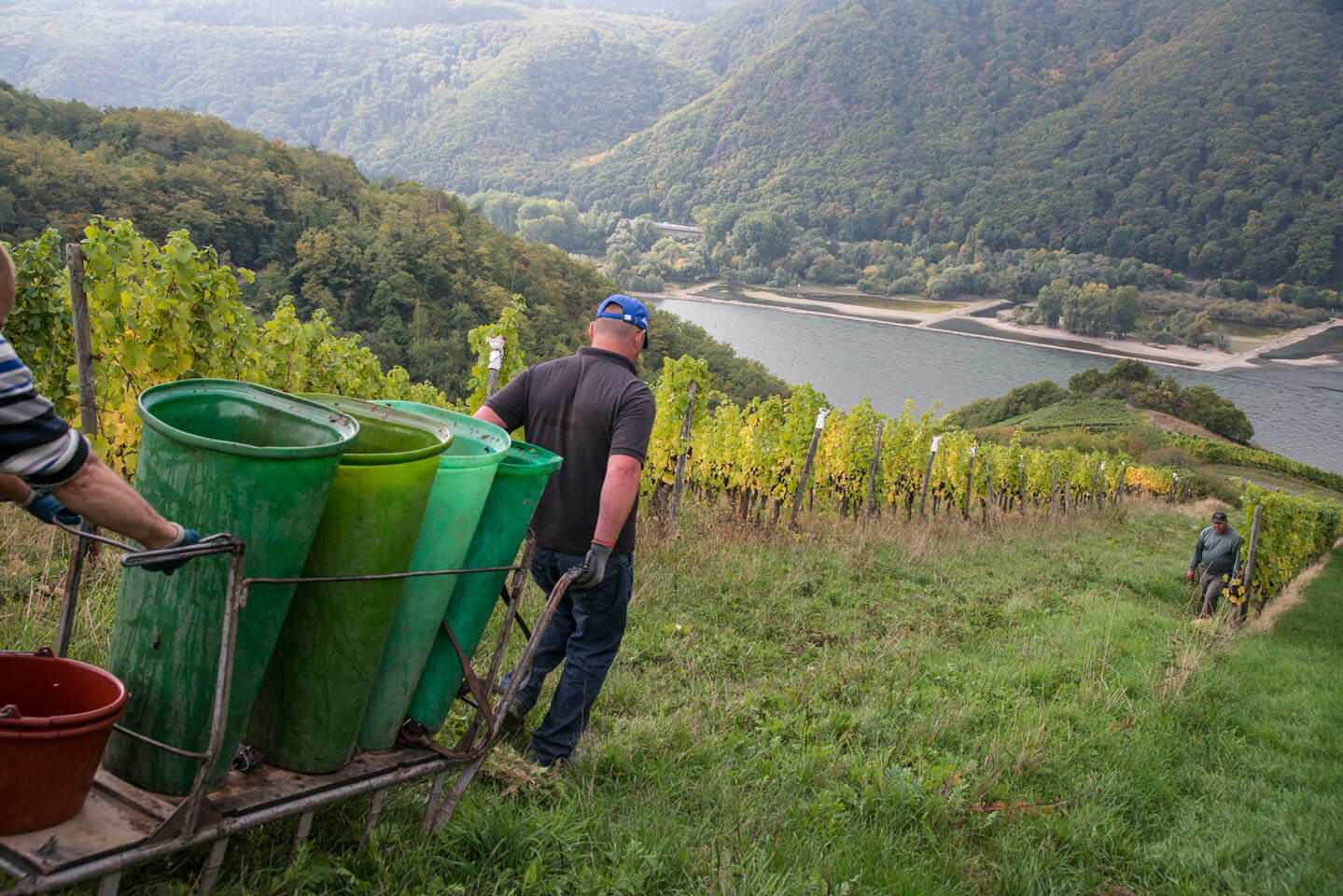 Harvest steep slope Hoellenberg Rhine